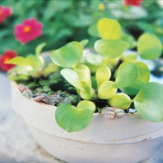 A pale stoneware bowl is a good choice for showing off burgundy-edged Phyllanthus fluitans, tiny-leaf duckweed (Lemna minor) and lavender-flower water hyacinth (Eichhornia crassipes). More water container garden ideas: http://www.midwestliving.com/garden/container/easy-container-water-gardens/?page=6