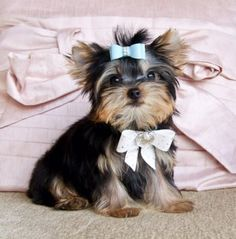 Teacup Yorkie PrinceHe is Stunning Perfection!AKC