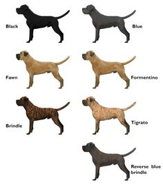 The BCCS - Colour and the Cane Corso- i would love a blue but also a formento, black, oh heck id take em all