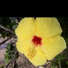 Yellow Hibiscus flower from Maui