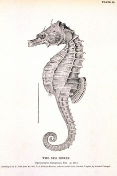 Seahorse Printable / http://vintageprintable.com/wordpress/wp-content/uploads/2010/08/Animal-Curiosity-Seahorse-666x1000.jpg