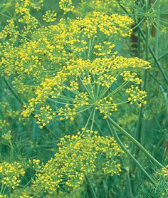 Dill Bouquet Organic Seeds and Plants, Growing Herb Gardens at Burpee.com