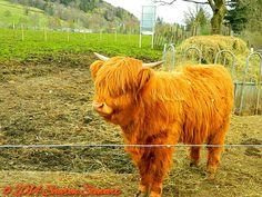 'Honey' the Highland Cow Trossachs Woollen Mill Kilmahog, near Callander Scotland - April 2012 www.facebook.com/beautyofphotosphotography Highland Cattle, Bison, Cows, Feathers, Buffalo, Scotland, Honey, Fur, Babies
