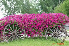 old wagon with beautiful overgrown flowers!