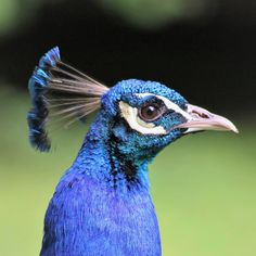Peacock! He knows that he is beautyfull and wanted impress me...😉