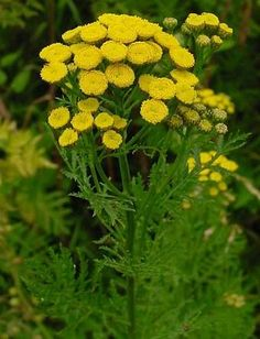 Tansy - Health, invisibility, immortality, longevity; keeps evil out of the home. Place a small amount in the shoe or add an infusion of tansy to the bath to keep the law away.