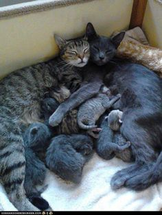 Cat family-as cute as this looks, PLEASE spay and neuter your pets. There are so many animals waiting for forever homes in shelters that will never get one. I Love Cats, Crazy Cats, Cool Cats, Baby Animals, Funny Animals, Cute Animals, Animals Images, Cute Kittens, Cats And Kittens