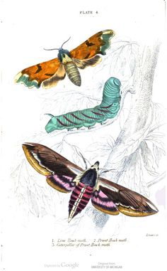 The lime hawk-moth, the privet hawk-moth, and the caterpillar of the privet hawk-moth. Illustrated by Maria Sibylla Merian, for The Natural History of British Moths, Sphinxes, , by James Duncan.
