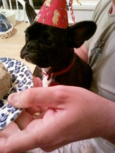 'It's my First Birthday', French Bulldog Puppy.