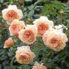 'A Shropshire Lad' by David Austin Roses- I have this in my garden and it is gorgeous....