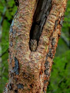 Scops owl by Vishwa Kiran on 500px