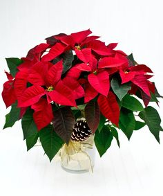 """The perfect way to say """"Merry Christmas."""" Send a decorative poinsettia plant and that special someone will indeed have a Merry Christmas! #BlossomFlowerShops Big Plants, Exotic Plants, Growing Flowers, Planting Flowers, Poinsettia Plant, Flower Pot Design, Sympathy Flowers, Christmas Flowers, Funeral Flowers"""