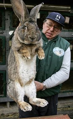 At home in Germany, Karl Szmolinsky raises a breed of rabbits called Giant Greys. He sold eight of his bunnies, which can reach a maximum weight of 23 pounds, to North Korea for their meat.