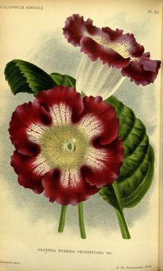 Gloxinia Hybrida Grandiflora,   v.42 (1895) - L'Illustration horticole : - Biodiversity Heritage Library