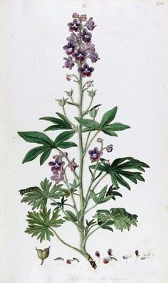 Hazeran - Delphinium - Larkspur