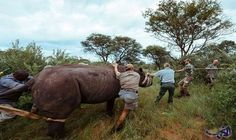 """وحيد القرن الأسود يعود إلى """"اكاجيرا"""" في رواندا: يعود حوالي 20 حيوانًا من فصيلة """"وحيد القرن الأسود"""" الى رواندا، بعدما كان هذا النوع قد اندثر…"""