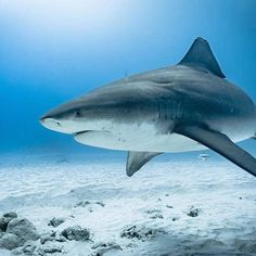 Great Shot of BullShark Season about to start Great Shots, Sharks, Diving, Whale, Mexico, Ocean, Adventure, Photo And Video, Lifestyle