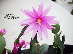 * Flor-de-outubro  (Rhipsalidopsis gaertneri) Cactaceae Cactácea sem espinhos. Tem flores rosas ou vermelhas,  muito vistosas e delicadas em forma de estrela, que florescem entre setembro e outubro.  Cladódios achatados,  segmentados e de bordas denteadas.