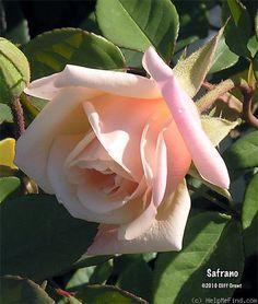 'Safrano (Tea, Beauregard, 1839)' rose, click to enlarge