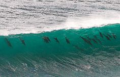 20 surfing dolphins line up to catch a wave