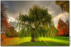 I have always loved Weeping Willow trees and this is why, beautiful!