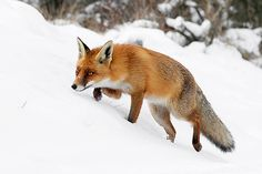 Fox on the Hunt by Roeselien Raimond, via Flickr