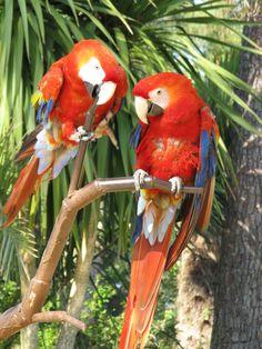 Ara macao du zoo de La Palmyre | Pays Royannais Charente-Maritime Tourisme #charentemaritime | #zoo | #LaPalmyre | #animaux