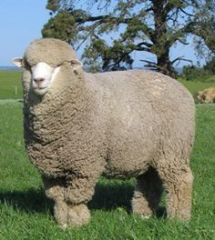 The Corriedale was simultaneously evolved in both Australia and New Zealand about 1874 by cross breeding Merino and Lincoln sheep with the aim of creating a breed that would thrive in lower rainfall areas.