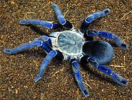 The Cobalt Blue tarantula--native to Thailand and Burma