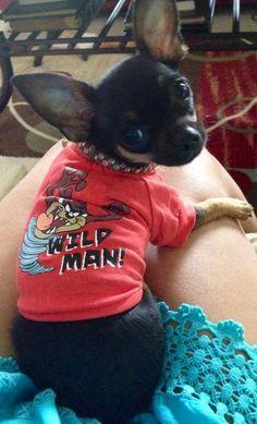 Wild Man Chihuahua image via www.Facebook.com/CuteChihuahuaFans