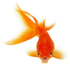 ♥♥ ><(((('> Goldfish. <'))))>< A fine kettle of fish.