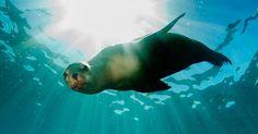 Video: Dieser Seelöwe liebt Spiele über alles! #News #Unterhaltung