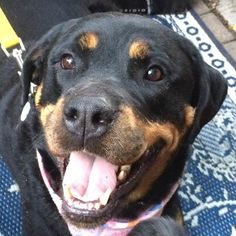 Meet Mira, a Petfinder adoptable Rottweiler Dog | Chicago, IL | **FOSTER HOME(s) WANTED**Sisters Portia (7 yrs) and Mira (4 yrs) were surrendered due to their...