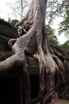 Couli de racine au temple d'Angkor Ta Prohm. Cambodge.