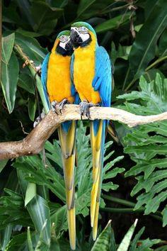 Coy Parrots, Iguassu Falls.