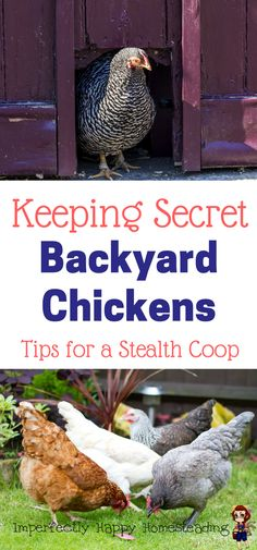Keeping Secret Backyard Chickens - Tips for a Stealth Coop.