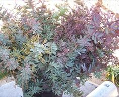 Acacia Purple - California Foliages - Greens, Foliages and Branches - Flowers by category   Sierra Flower Finder