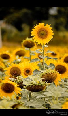 Beautiful Rose Flowers, Happy Flowers, My Flower, Beautiful Flowers, Growing Sunflowers, Sunflowers And Daisies, Yellow Flowers, Sun Flowers, Sunflower Garden