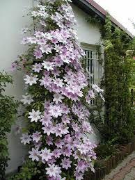 Znalezione Obrazy Dla Zapytania Kwiaty Na Balkon Pnace Plants Vines Photo