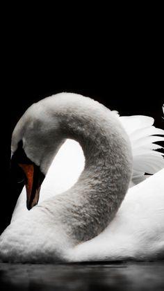 Swan, calm, bird, portrait, white, 720x1280 wallpaper