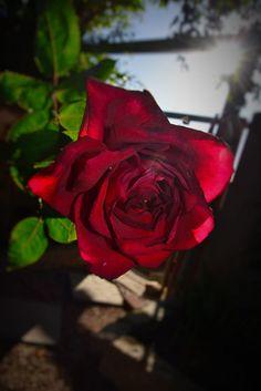 Rose by ulrichwaldeck21 on 500px