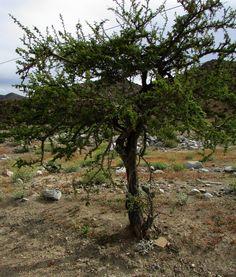 Espino chileno, acacia caven.