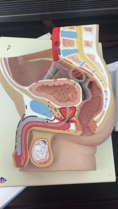 Male reproductive system model