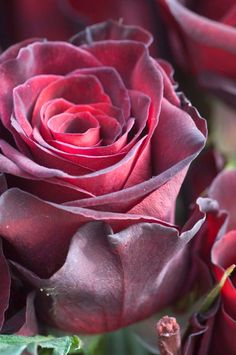 Black Baccara Roses. One of the kind of roses I'm having.
