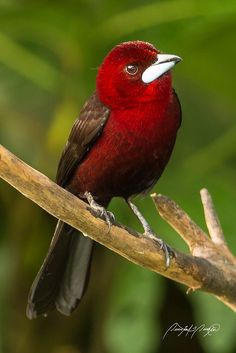 Silver-beaked Tanager by Quinten Questel