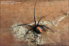"""Redback spider"", is arguably the most famous, or infamous, Australian spider. Similar to the Black Widow, the bite of the redback spider can cause a reaction quite painful and has the power to cause death sometimes."