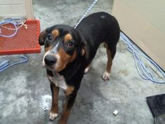 Wright - URGENT - PIKE COUNTY ANIMAL SHELTER in Pikeville, Kentucky - ADOPT OR FOSTER - Young Male Hound Mix