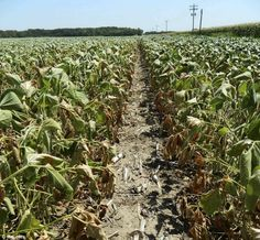 """US food prices SOAR, Obama does NOTHING, as worst U.S. drought for half a century forces corn farmers to abandon fields the size of Belgium and Luxembourg. Over 30% of corn crop goes to making """"Green Energy"""", despite fact that other types of crops produce a much higher amount of sugar need to produce the alcohol added to gas to reduce green house gases. Lower middle class, working poor, and seniors suffer as they decide either to freeze or eat this winter."""