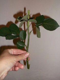 Как укоренить розу из подаренного букета? Да, запросто!