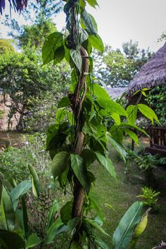 Ayahuasca vine - Google Search